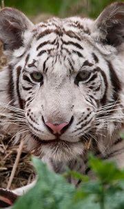 Paradise Wildlife Park: White Tiger   www.facebook.com ...