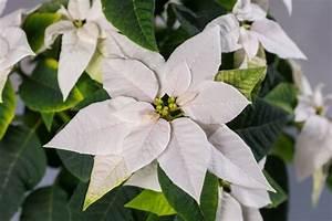 Weihnachtsstern Pflanze Kaufen : weihnachtsstern euphorbia poinsettia g nstig online kaufen ~ Michelbontemps.com Haus und Dekorationen
