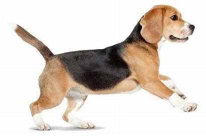 Dog Transparent Puppy Dogs Beagle Clipart Pet