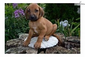 Rhodesian Ridgeback puppy for sale near Lancaster ...