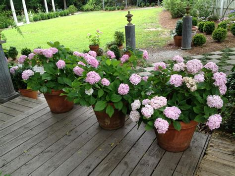growing hydrangeas  pots container garden ideas hgtv
