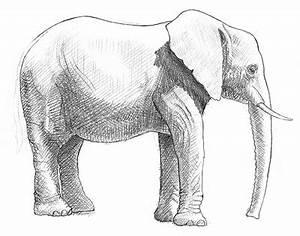 Zeichnen Lernen Mit Bleistift : elefant zeichnen lernen ~ Frokenaadalensverden.com Haus und Dekorationen
