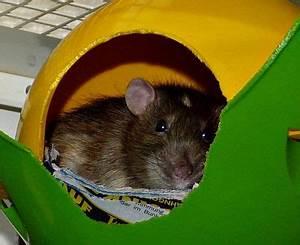 Wie Vertreibt Man Ratten : wie h lt man ratten artgerecht ~ Eleganceandgraceweddings.com Haus und Dekorationen