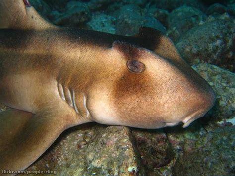 requin dormeur requin dormeur 224 crete heterodontus galeatus photos