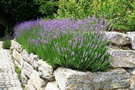 Lavendel Und Gräser by Lavendel In Reih Und Glied Pflanzen Gartentechnik De