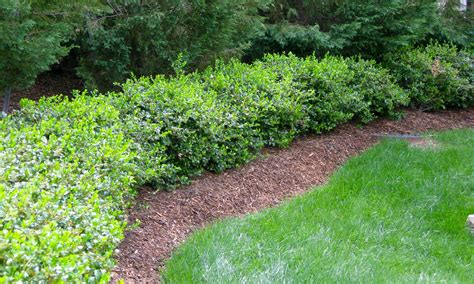 hedge bushes types how to grow a holly hedge full of berries
