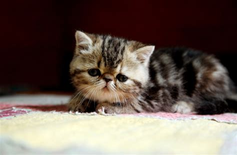 cat breeds that don t shed cat breeds that don t shed pawculture