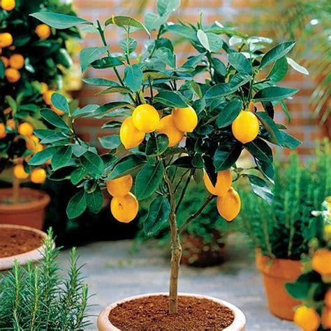 potare i limoni in vaso potatura limoni in vaso potatura come potare i limoni