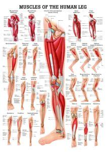 Want to learn more about it? Leg Muscle Anatomy Chart | amulette