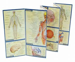 Quickstudy Guide - Anatomy  A4 Laminated