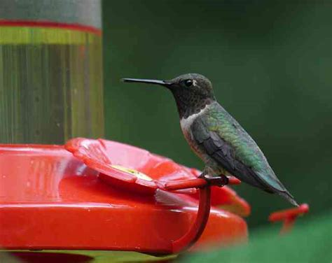 when do you stop feeding hummingbirds