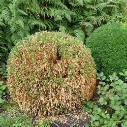 Alternative Zu Gras Garten : buchsbaum die besten ersatzpflanzen mein sch ner garten ~ Markanthonyermac.com Haus und Dekorationen