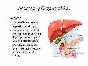 Ppt - Digestive System Powerpoint Presentation