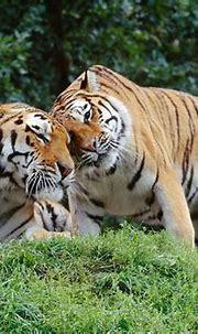 siberian tiger - Animal Stock Photos - Kimballstock