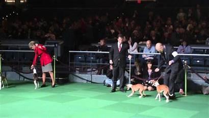 Dog Italian Greyhounds Westminster