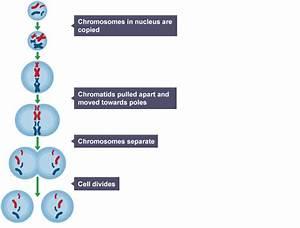 Mitosis  Chromosomes In Nucleus Are Copied  Chromatids