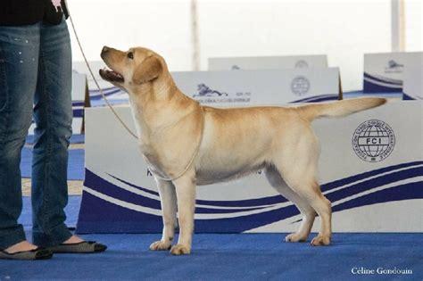 juge du si鑒e chien elevage du temps passé eleveur de chiens labrador retriever