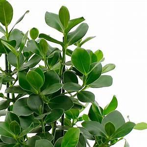 Hydrokultur Pflanzen Kaufen : clusia hydrokultur kaufen 123zimmerpflanzen ~ Buech-reservation.com Haus und Dekorationen