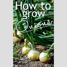 Veg Garden How To Grow Your Own Onions  Gardening In The