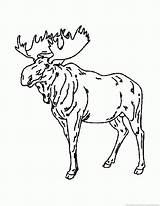 Moose Animal 123coloringpages sketch template