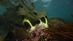Rimurapa  Bull Kelp  Urbannature In Dunedin