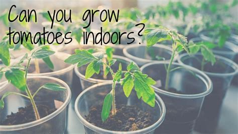 Home Gardens Can You Grow Tomatoes Indoors?