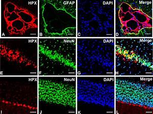 Immunofluorescence Double Labeling Of Hpx  Red  And Neun
