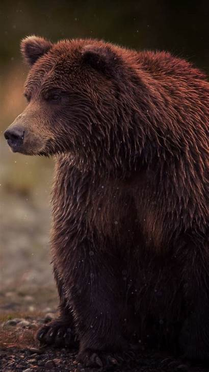 Bear Animal Iphone Bears Wallpapers Grizzly Brown