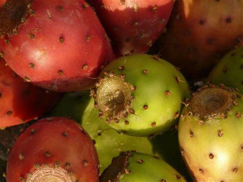 cuisine huile essentielle figue de barbarie la culture de l 39 or vert du maroc ayda