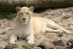 White Lion and Lioness