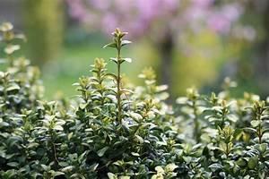 Buchsbaum Befall Raupen : buchsbaum krankheiten cheap buchsbaum krankheiten with buchsbaum krankheiten beautiful ~ Watch28wear.com Haus und Dekorationen