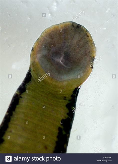 The Business End Of A Leech Close Up Of The Mouthparts