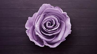 Purple Rose Wallpapers Flowers 4k Backgrounds 1462