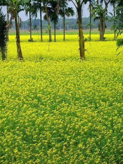 Palm Tree in Bangladesh