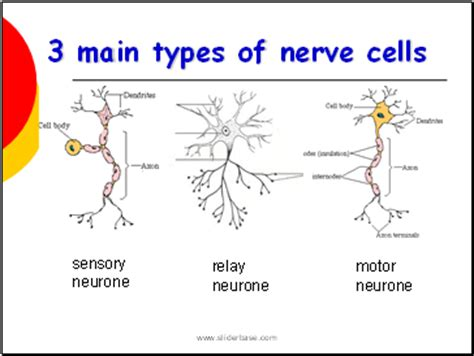 Nervous System  Presentation Health And Disease  Sliderbase. Service Manager Resume. Embedded Systems Resume For Experienced. Acting Resume. Sample Fitness Resume. Sample Cover Letter Resume. Resume For Personal Assistant. Resume Categories. It Administrator Resume Sample