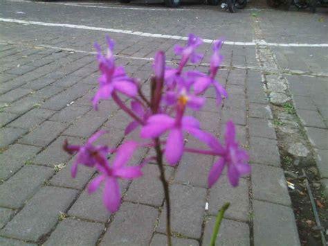 jual tanaman anggrek merpati ungu bibitbunga