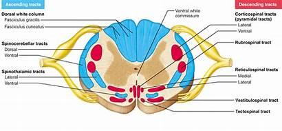Spinal Cord Nervous Central System Sensory Motor