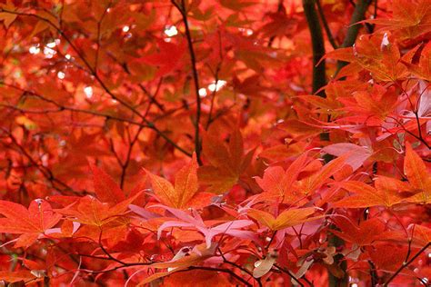 what tree leaves turn in fall why leaves change color in fall earth earthsky