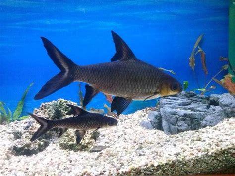 zu verschenken haibarbe fisch ca 20 cm lang ist f 252 r meine aquarium zu gro 223 tel 01784309315 in