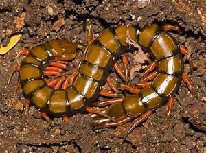 5 Interesting Facts About Amazonian Giant Centipedes