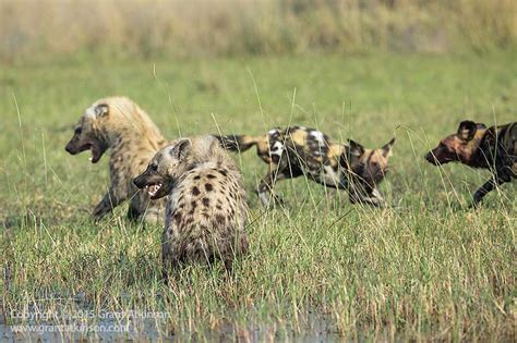 wild african dog dogs attack canon spotted 2000sec 5dmk3 500l shutter f8 ef f4 speed ii