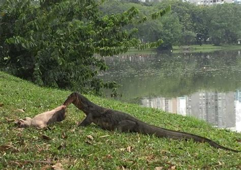 monstrous monitor lizard feasts  cat  japanese garden