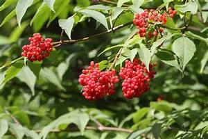 Holunder Black Beauty Essbar : roter holunder bestellen roter holunder sambucus racemosa ~ Michelbontemps.com Haus und Dekorationen