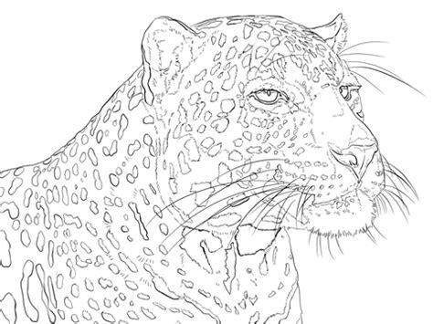 portrait  indian leopard coloring page  printable