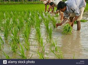 People Planting Rice In A Paddy Field In West Bengle