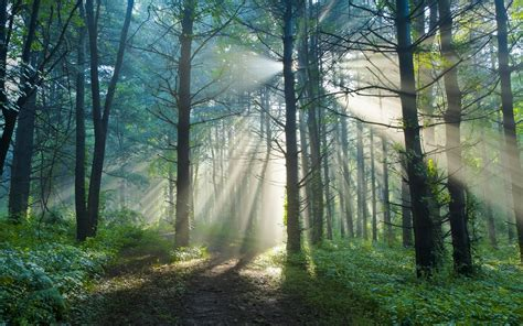 Tree In Woods Wallpaper by Summer Morning Nature Forest Trail Sun Light Rays