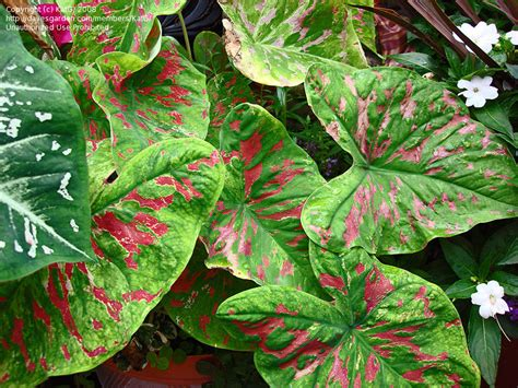 caladiums florida plantfiles pictures fancy leafed caladium angel wings heart of jesus florida beauty