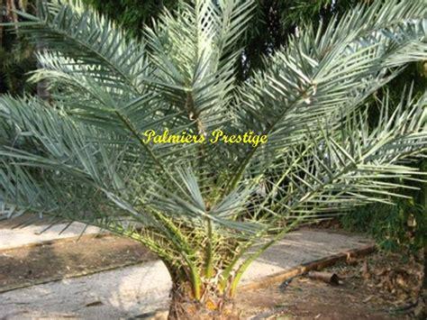 theophrastii vente des plus beaux palmiers d ext 233 rieur