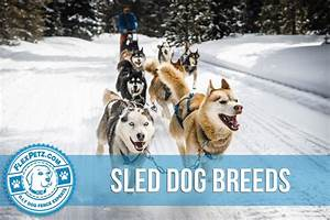 Sled Dog Breeds | Read This Before Considering Owning a ...
