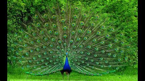 amazing peacockpeafowl dance  ultra hd p video